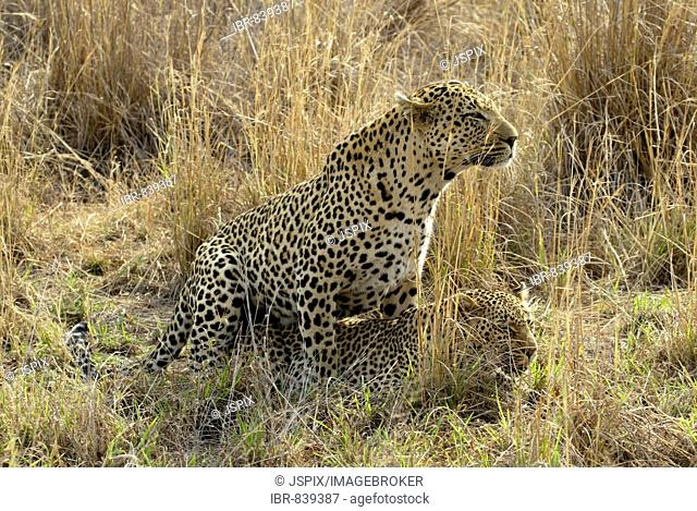 Leopard (Panthera pardus), pair, adults, Sabi Sand Game Reserve, South Africa