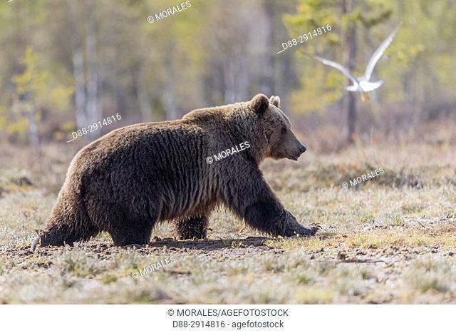 Europe, Finland, Kuhmo area, Kajaani, Brown bear (Ursus arctos horribilis)