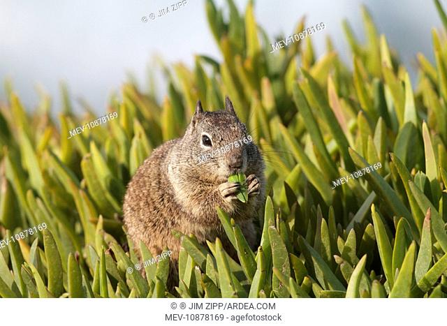 California Ground Squirrel - feeding (Spermophilus beecheyi). Lajolla cliffs in San Diego, California, USA in January