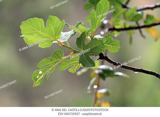 Fig tree in Borosa river source  Sierras de Cazorla and Segura natural park  Jaen province  Spain