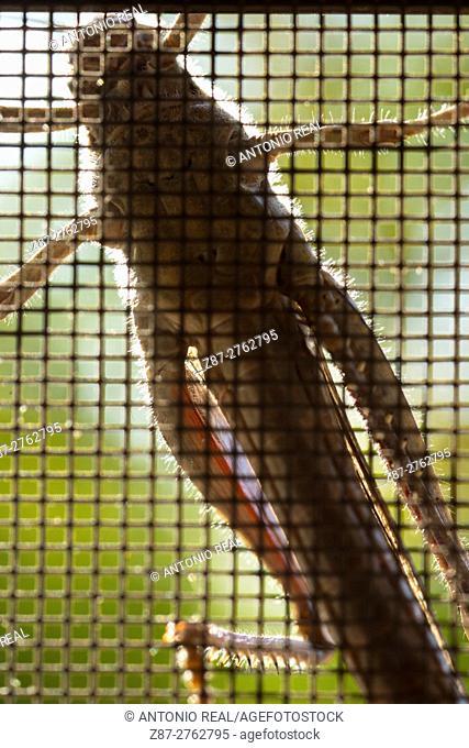 Grasshopper on mosquito net. Almansa, Albacete province, Castilla-La Mancha, Spain