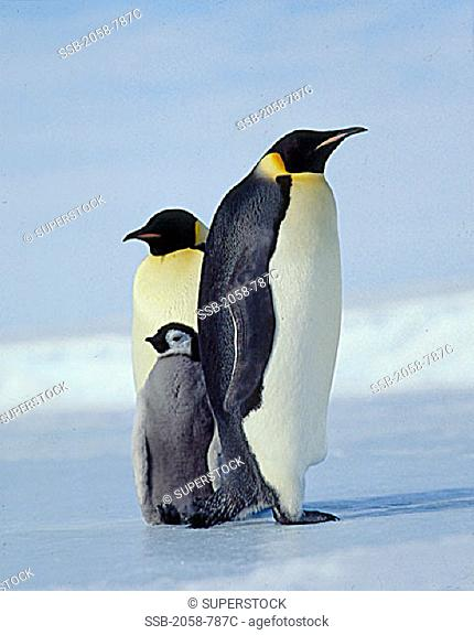 Emperor Penguin Couple with Chick, Antarctica