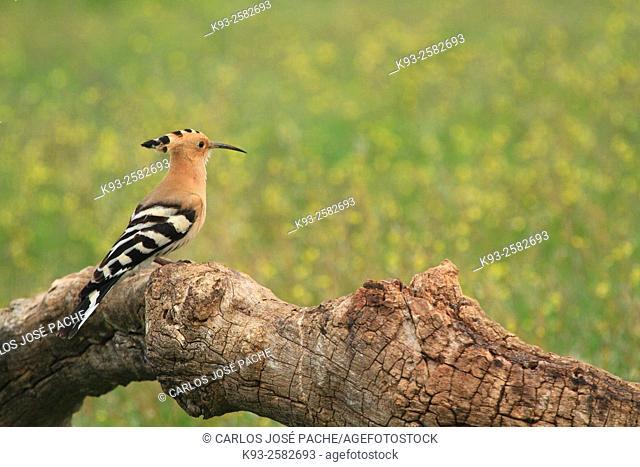 Hoopoe (Upupa epops), Monfragüe National Park, Caceres province, Extremadura, Spain