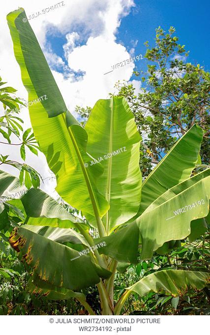Tanzania, Zanzibar, Pemba Island, Banana Plant, Plantation of Bananas