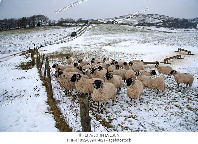 Domestic Sheep, Swaledale ewes, flock standing in snow covered pasture with troughs, Chipping, Lancashire, England, december