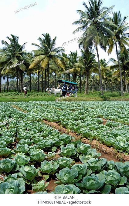 VEGETABLE FARMS ON TAMIL NADU PLAINS NEAR KUMILY THEKKADY