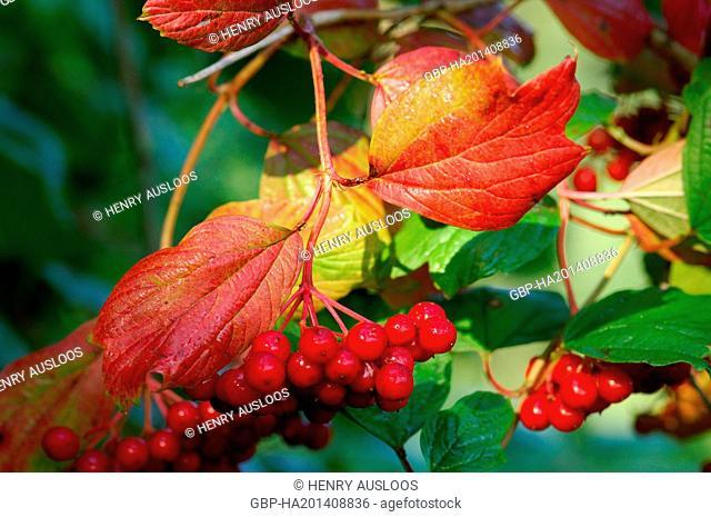 Guelder Rose, viburnum opulus, Ripe berries