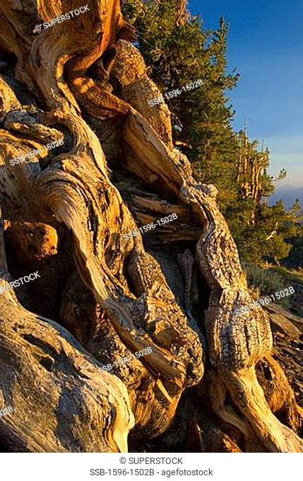 Roots of a Bristlecone pine tree, Ancient Bristlecone Pine Forest, Ancient Bristlecone Scenic Byway, Inyo National Forest, California, USA
