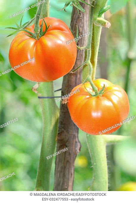 Ripe red and unripe tomatoes shoot in garden