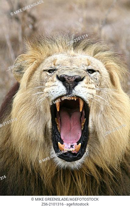 Male lion (Panthera leo) roaring, Hlane Royal National Park, Swaziland, Africa