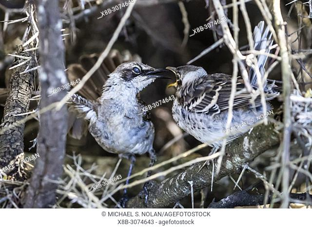 Adult Galápagos mockingbird, Mimus parvulus, feeding chick on Santa Cruz Island, Galápagos, Ecuador