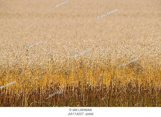 Full Frame Shot Of Oats Growing In Field