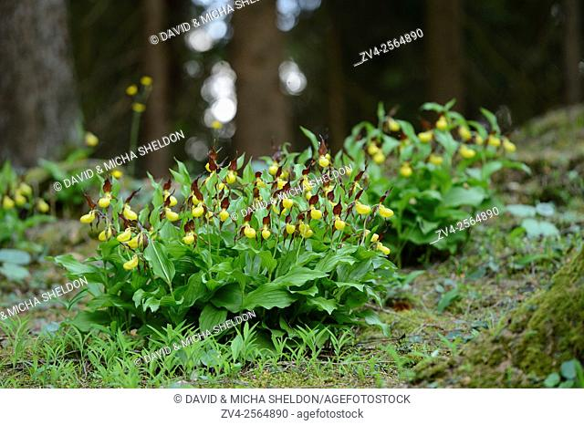 A bush of Lady's-slipper orchids (Cypripedium calceolus) in a forest