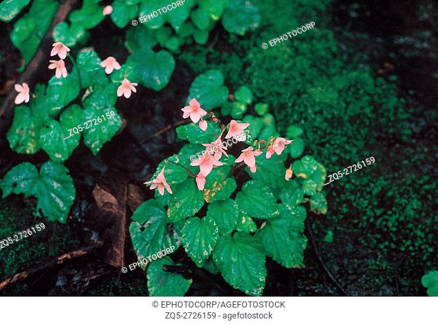 Begonia Crenata or or Common Begonia Family: Begoniaceae. A small, annual herb which grows on boulders in the monsoon