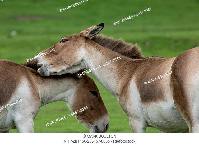 The Wild Ass Of Tibet Stock Photos And Images Age Fotostock