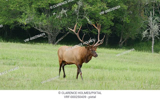 A large bull Elk walks while watching over his close-by harem in Cataloochee Valley in Great Smoky Mountains National Park