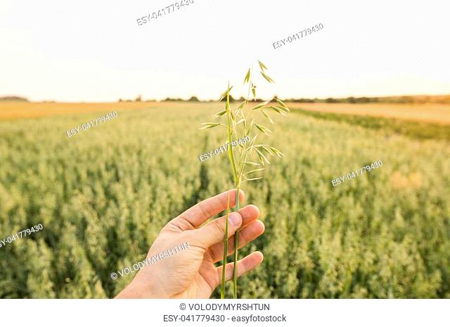 Close-up of man hand touching holding crops, young green oat ears on a field in sunset. Close up on a beautiful field. Ripening ears of oats