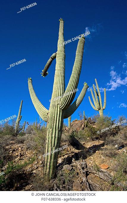 Saguaro Cactus (Carnegiea gigantea) - Sonoran Desert - Arizona - Record height:  78 feet - Average mature height:  18 to 30 feet