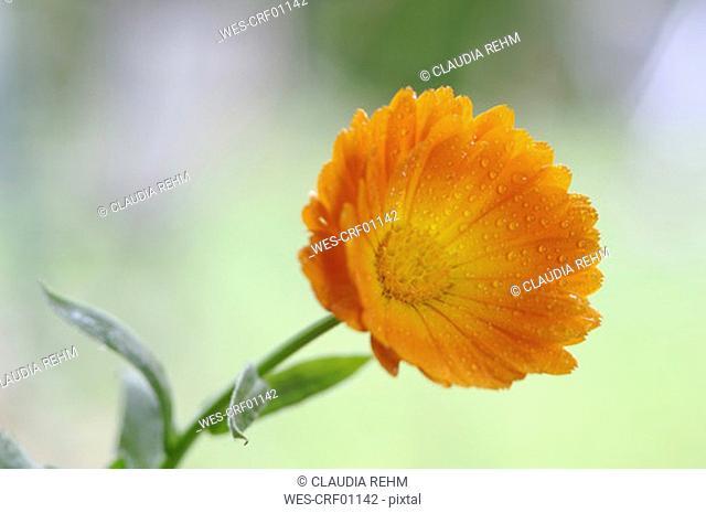 Calendula officinalis, close-up