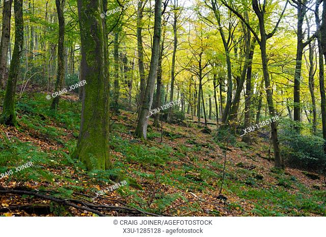 Autumn colours in Glyn Wood, in the Wye Valley, Tintern, Monmouthshire, Wales, United Kingdom