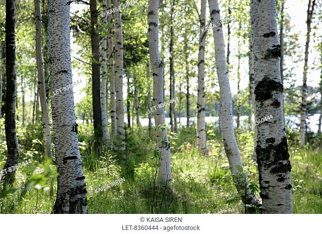 Birchtree grove Betula