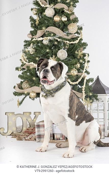 Studio portrait of an American Bulldog sitting beside a Christmas tree