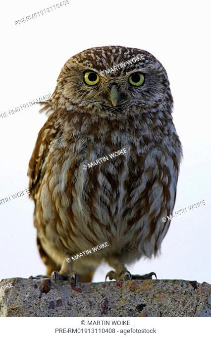 Little Owl, , Athene noctua