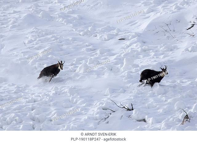 Chamois (Rupicapra rupicapra) male chasing away rival in the snow during the rut in winter in the European Alps