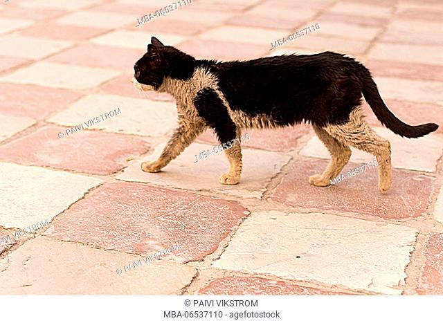 Alley cat walking, Kotor Montenegro