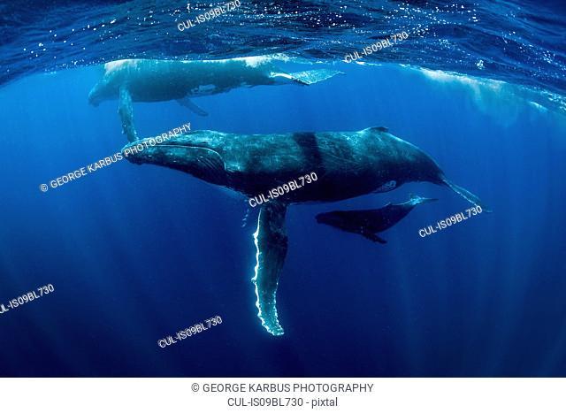 Humpback whales (Megaptera novaeangliae), underwater view, Tonga, Western, Fiji
