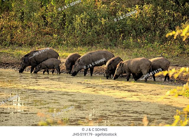 Eurasian Wild Boar, (Sus scrofa affinis), (Sus affinis), group at water drinking, Sri Lankan Wild Boar, Indian Wild Boar, Yala Nationalpark, Sri Lanka, Asia