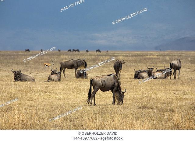 Africa, gnu, wildebeest, Ngorongoro, Conservation area, protective area, Ngorongoro crater, travel, savanna, mammals, Tanzania, East Africa, animals, wilderness