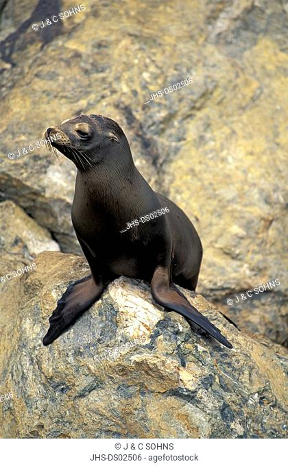 Californian Sea Lion,Zalophus californianus,California,USA,adult on rock