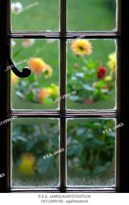 Dahlas through cottage window Ringshall Herts