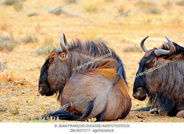Blue wildebeests (Connochaetes taurinus), lying on dry ground, asleep, Kgalagadi Transfrontier Park, Northern Cape, South Africa, Africa