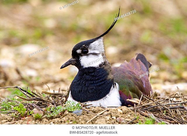 northern lapwing (Vanellus vanellus), breeding on the ground, Germany