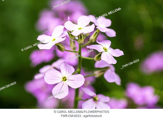 Sweet rocket, Hesperis matronalis. Close view of spike of four petalled white flowers