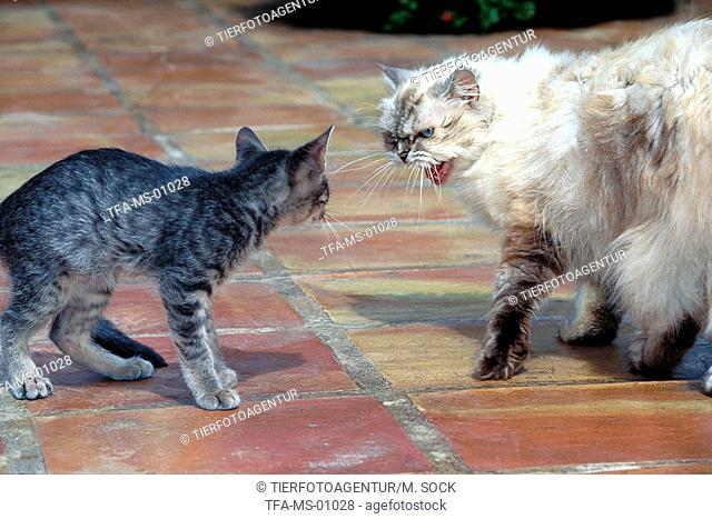 encounter of two cats