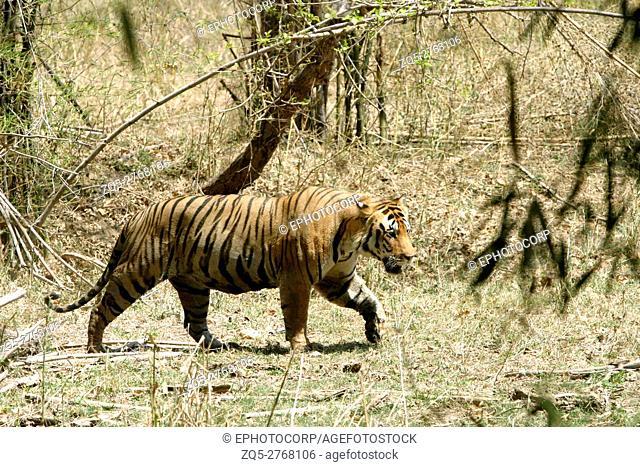 Male tiger, Panthera tigeris, Kanha National Park, Madhya Pradesh, India