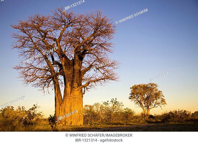 African Baobab (Adansonia digitata), Botswana, Africa