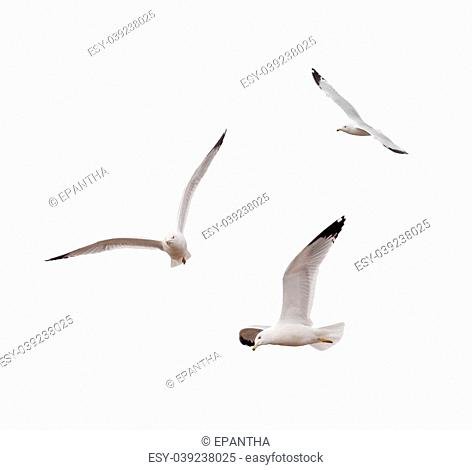 Ring-billed Gulls (Larus delawarensis) on a white background with clipping path