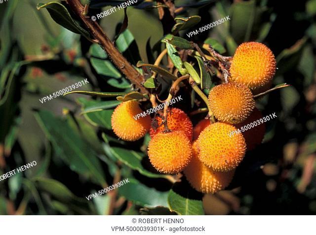 ARBUTUS UNEDOSTRAWBERRY TREEFRANCE - MEDITERRANEAN AREA FRUIT