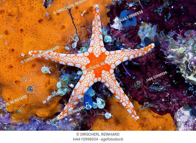 Red Mesh Starfish, Fromia monilis, Ambon, Moluccas, Indonesia