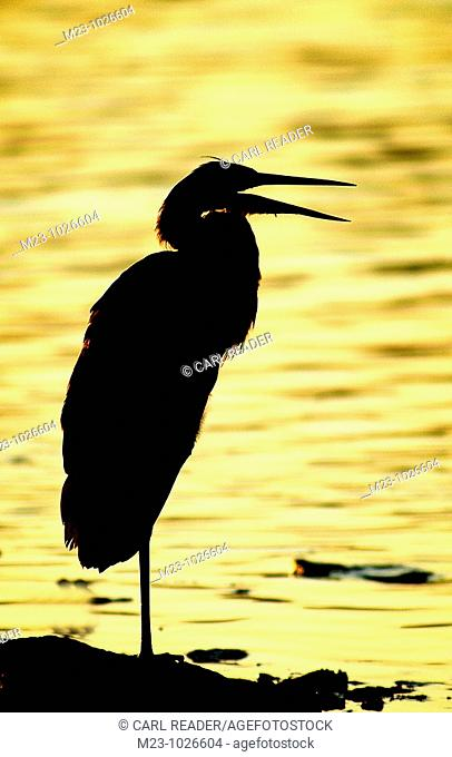 A great blue heron, ardea herodias, is silhoutted agains the backdrop of a golden lake, Pennsylvania, USA