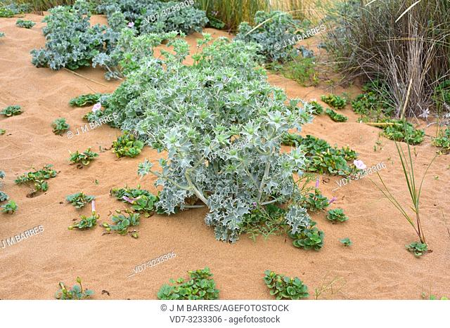 Sea holly (Eryngium maritimum) is a perennial herb native to European coasts; around specimens of Calystegia soldanella. This photo was taken in Menorca