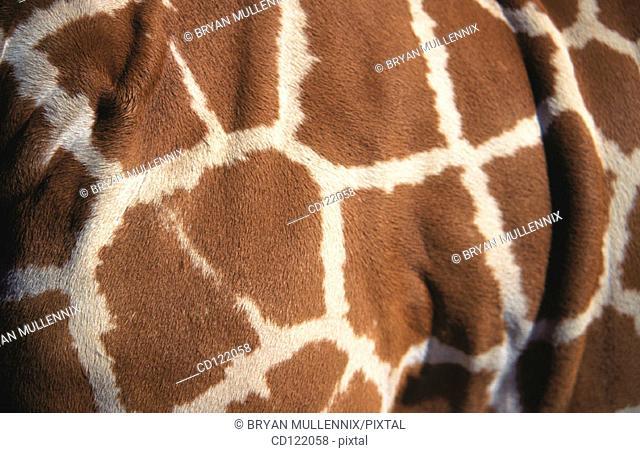 Skin pattern of giraffe (Giraffa camelopardalis reticulata)