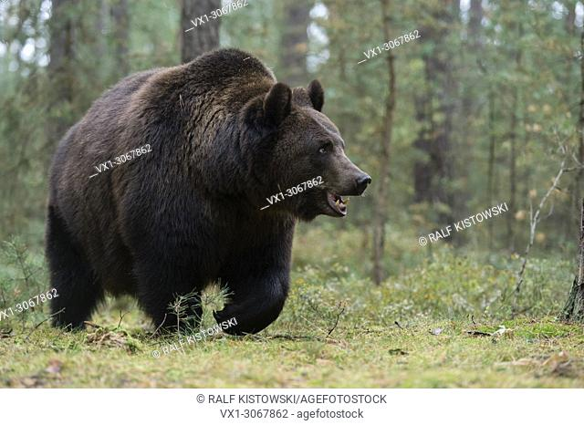 European Brown Bear ( Ursus arctos ) walking though the undergrowth of the edge of a boreal pine forest, Europe