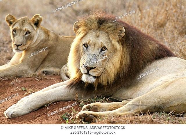 Male lion (Panthera leo) with lioness, Hlane Royal National Park, Swaziland, Africa