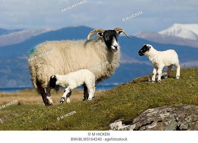 domestic sheep Ovis ammon f. aries, scottish blackface sheep and lambs, United Kingdom, Scotland, Isle of Mull