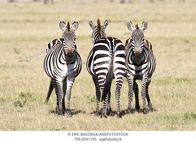 Group of 3 common zebras {Equus quagga} Masai Mara National Reserve, Kenya, Africa